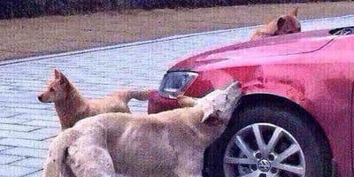perro muerde la aleta de un coche