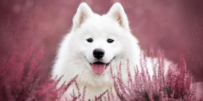 Top 90 perfect name ideas for a Samoyed