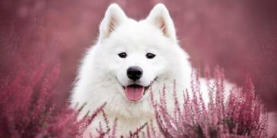 Nombres para perros samoyedo: la lista definitiva con más de 100 ideas