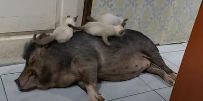 Tres gatos interrumpen la siesta de un cerdo perezoso: su reacción es enternecedora (vídeo)