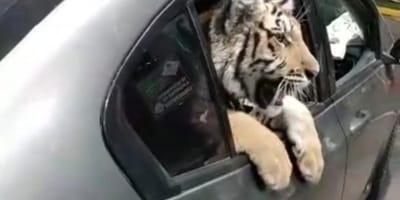 """Pasean a su """"gatito"""" en el coche en Mazatlán: cuando la gente lo ve se pone furiosa"""