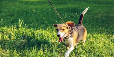 Los Cabos: Perritos esperan con la correa en el hocico que vengas a pasearlos