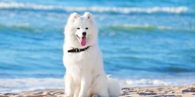 Samoyedo: ¿Cuánto cuesta un perro de esta raza en México?