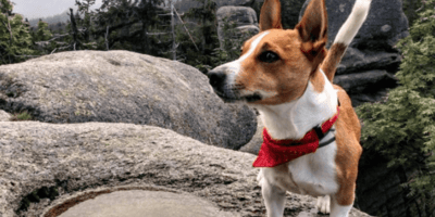 Jack Russell on a rock