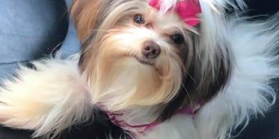 perro Shih Tzu antes de entrar a la peluqueria