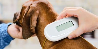 Perro aterrorizado en Granada: cuando el veterinario le pasa el chip, ¡su vida cambia para siempre!