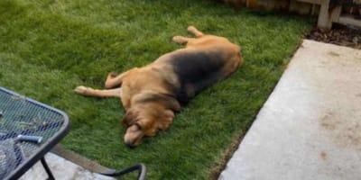 Dog lying in new garden