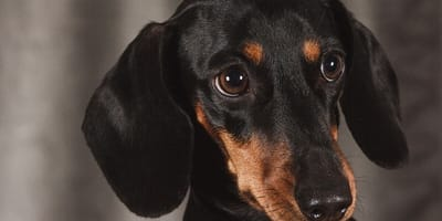 Woman buys Dachsie at reduced rate, but breeder plays terrible trick on her