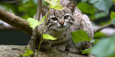 5 gatos silvestres nativos de Chile