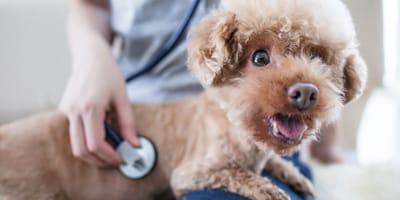 Come si manifesta l'ascite nel cane?