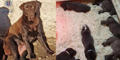 Mamma Labrador e i suoi cuccioli: il mistero nella notte