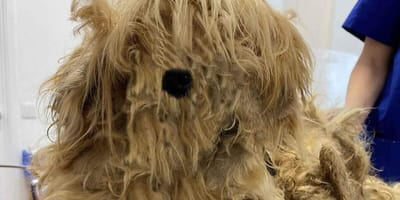 Dog with matted and dirty fur