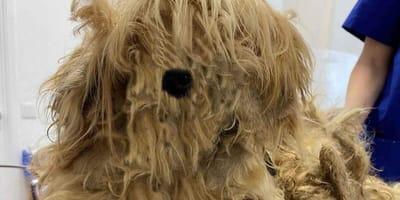 Tierschützer retten seltsame Kreatur: Nach dem Scheren kommt eine Schönheit zum Vorschein!