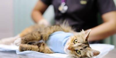 Sterylizacja kotki – jakie mogą wystąpić powikłania?