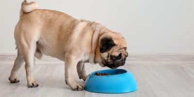 ¿Cómo hay que alimentar a los perros pequeños?