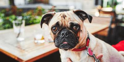A dog sits at a bar