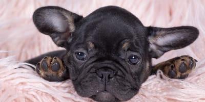Una bulldog cachorra triste descansando