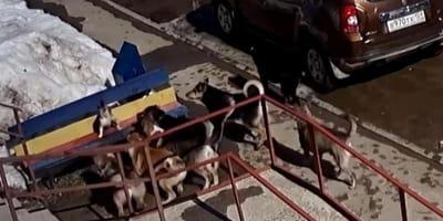 Gatto contro 7 cani: scene d'azione alla Chuck Norris! (Video)