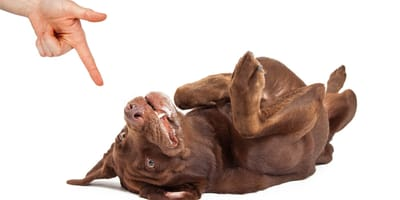 "Jak nauczyć psa komendy ""zdechł pies""?"
