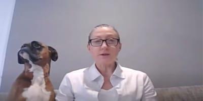Maestra da una clase online: su bóxer aparece y hace reír a carcajadas a todos los alumnos (Video)