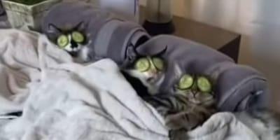 Come in una spa! Relax totale per questi tre gatti! (Video)