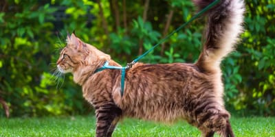 Portare il gatto a passeggio: con guinzaglio o senza?