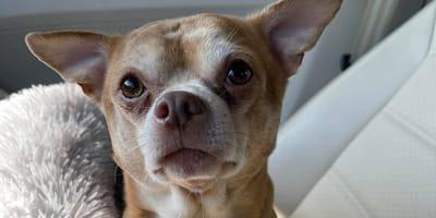 Chihuahua Prancer