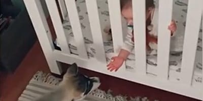 WATCH: Baby and Husky chatting is the best thing you'll see on TikTok