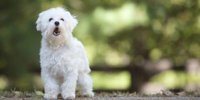 Perché i cani abbaiano? Tutti i motivi e come riconoscerli!