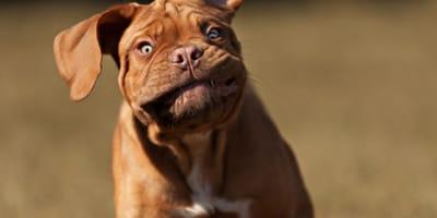 Enognatismo nel cane: dalla causa al trattamento