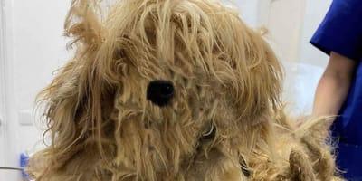 Bezdomny, skołtuniony pies trafia do schroniska: po strzyżeniu okazuje się, że to istna piękność!
