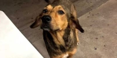 Justicia para Rodolfo: todo México exige castigo para el asesino del perrito de Sinaloa