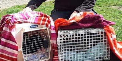 Katzen wandern hinter Gitter.