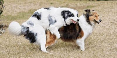 Zwei Hunde beim Deckakt
