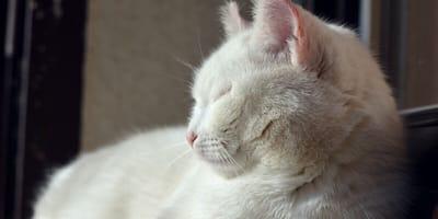 Biały kot i tuńczyk