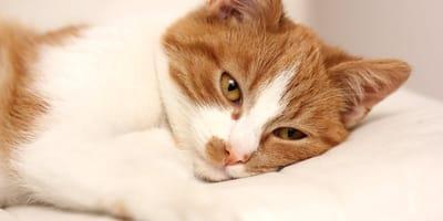 FIV u kota - drogi zarażenia, objawy, zapobieganie