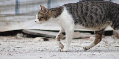Narcogatos: en Panamá usan gatos para traficar droga