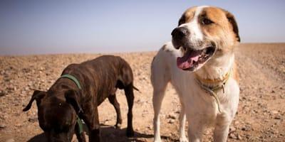 perritos en el desierto