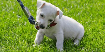 Puppy zit in gras en bijt in de hondenriem