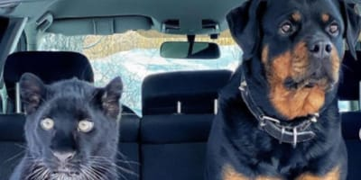 dog and panther in car