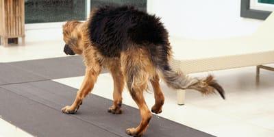 Mi perro no mueve las patas traseras y tiembla: qué hacer