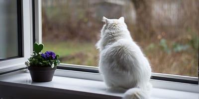 gatto-bianco-guarda-fuori-la-finestra