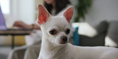 Una perrita chihuahua blanca llamada Flor