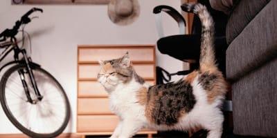 ¿Cuánto dura el celo de una gata?
