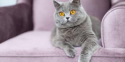 Hermosas razas de gatos grises: ¡descúbrelas!