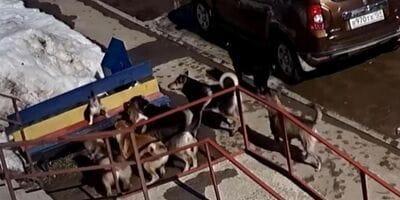 Kot zaatakowany przez 7 psów.  Sposób, w jaki  odparł atak zadziwiłby samego Chucka Norrisa!