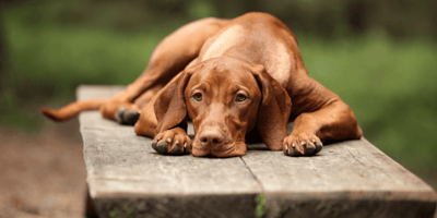 Top 9 amazing Hungarian dog breeds