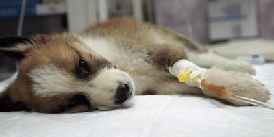 Zieke puppy aan infuus in de dierenkliniek