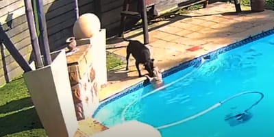 Video: Perro ve a un cachorrito caerse al agua y de inmediato se lanza al rescate