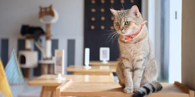 Cafeterías con gatos en Santiago de Chile